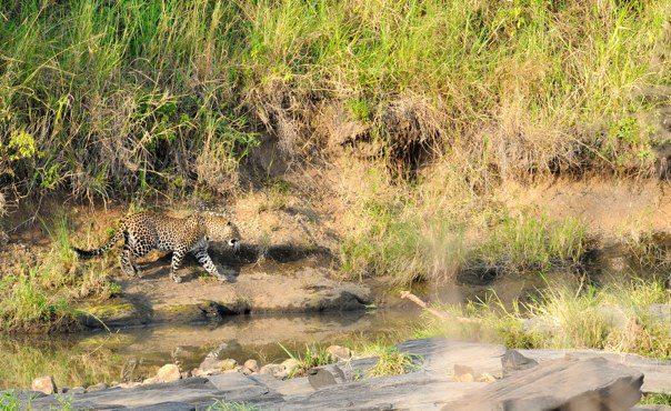 Leopard near Smelly Crossing.