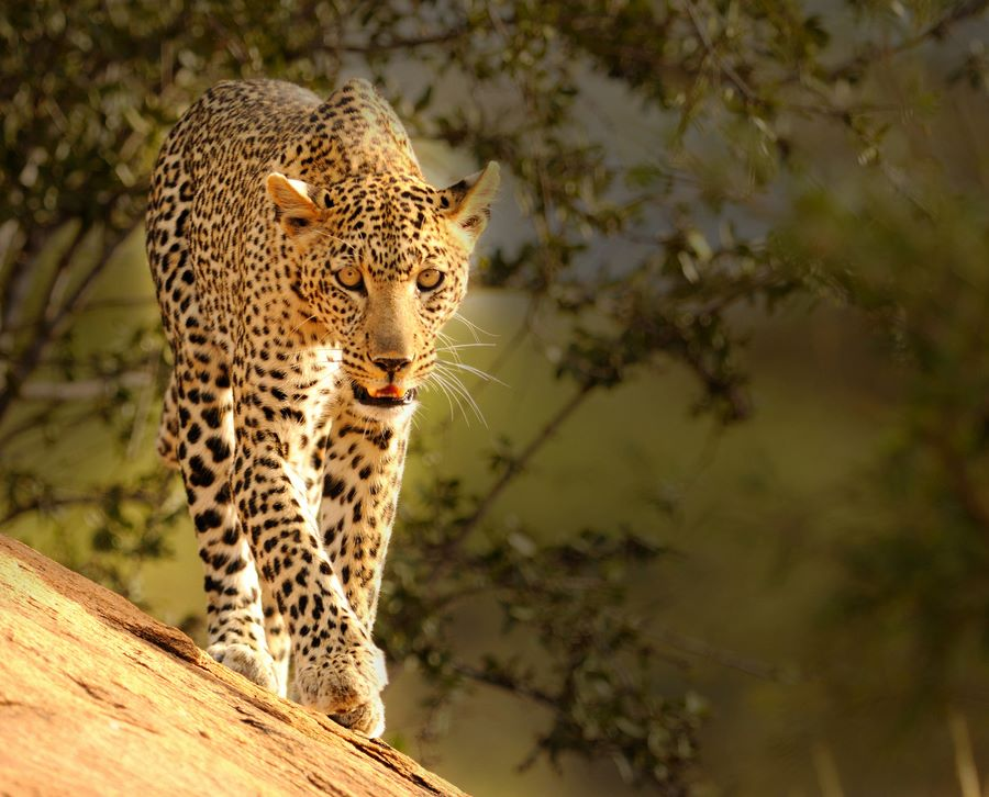 Leopard in Tsavo West National Park