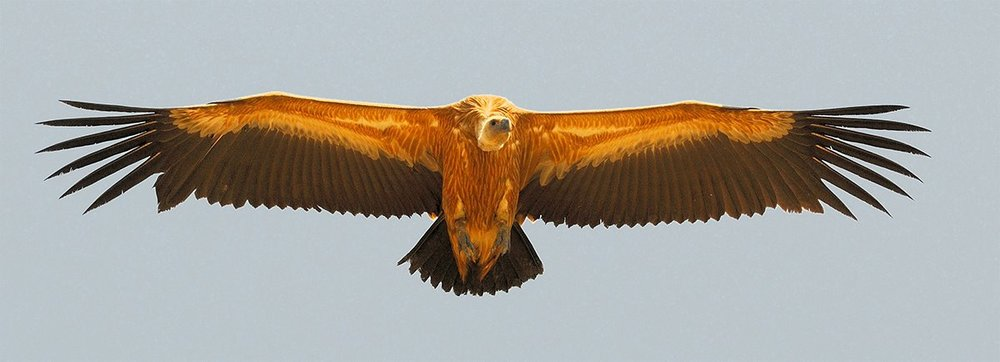 vulture-flying.jpg