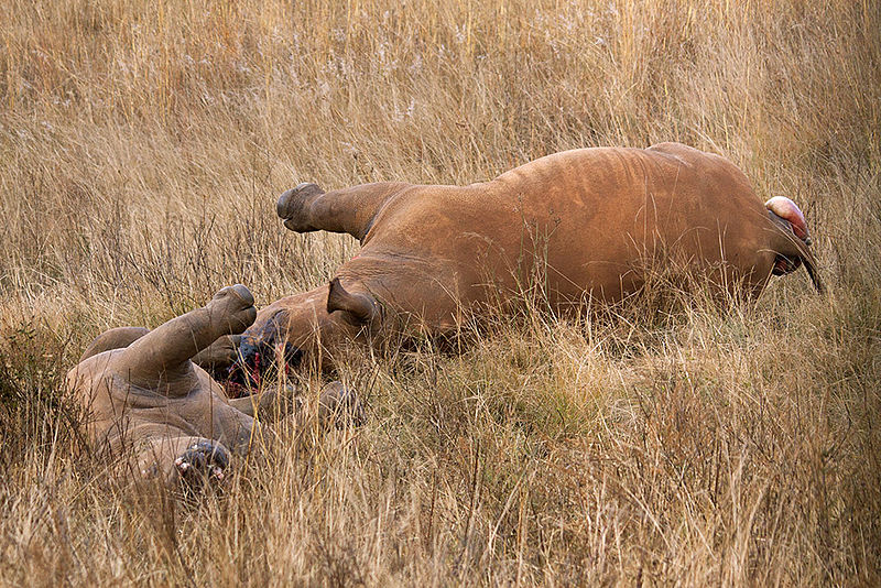 Mother and calf killed in a private reserve in South Africa. Photo courtesy Hein waschefort/Wikimedia Commons.