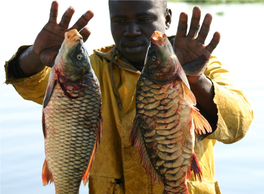 The two different kinds of carp found in Lake Naivasha.