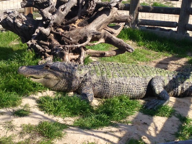 Soni our American Alligator basking for the first time this year.