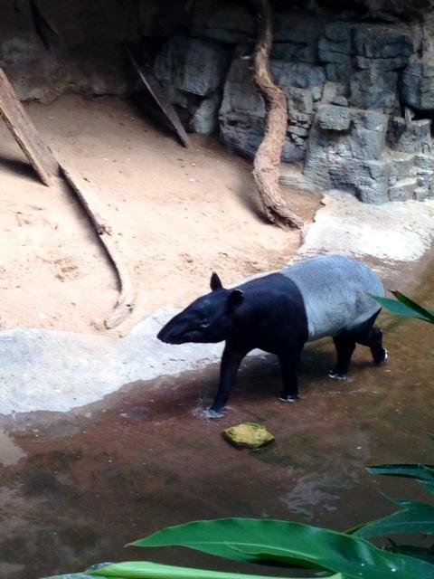 The Malayan Tapir found in Jungle World.