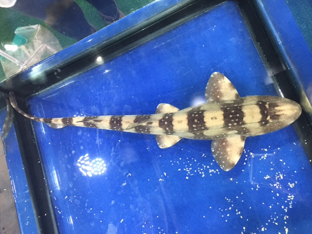 White-spotted Bamboo Shark
