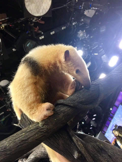 Gus the Southern Tamandua.