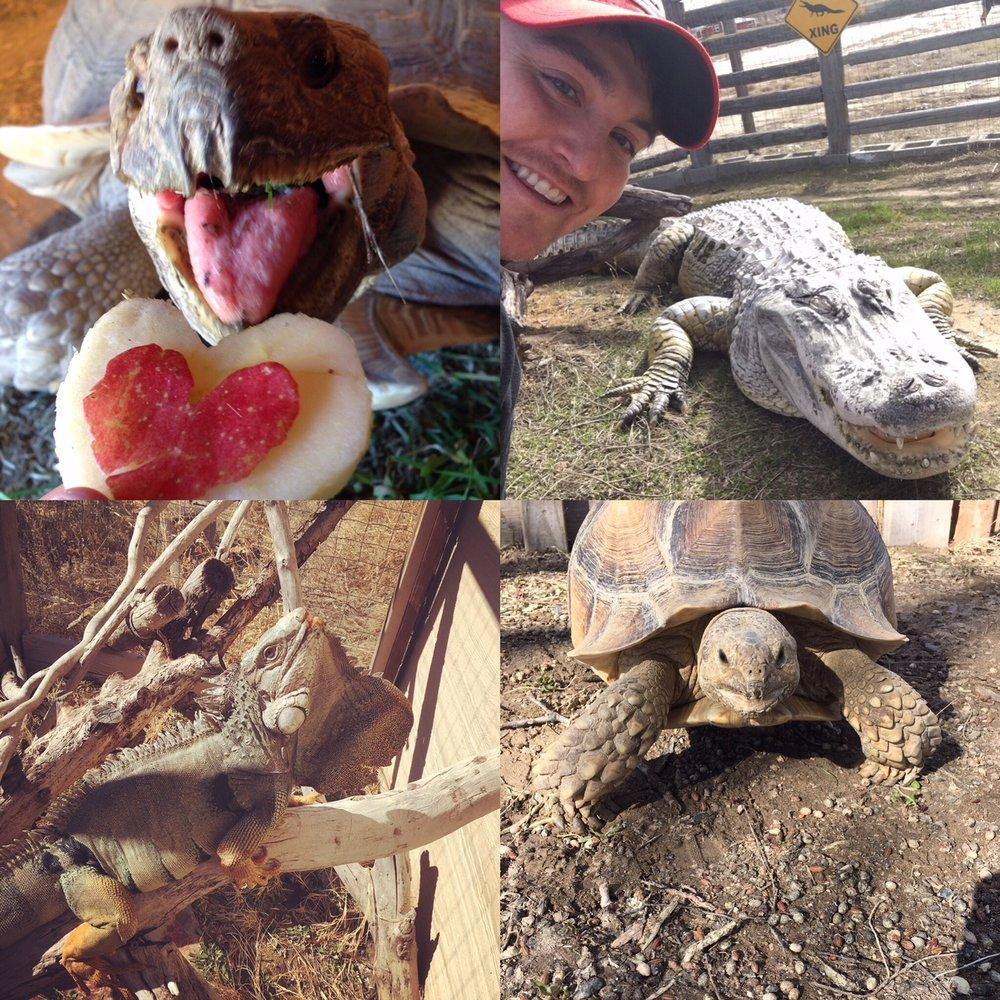 Top Left: Tank the Sulcata Tortoise on Valentine's Day. Top Right: Soni the alligator basking. Bottom Left: Godzilla the Green Iguana. Bottom Right: Hank the Sulcata Tortoise.
