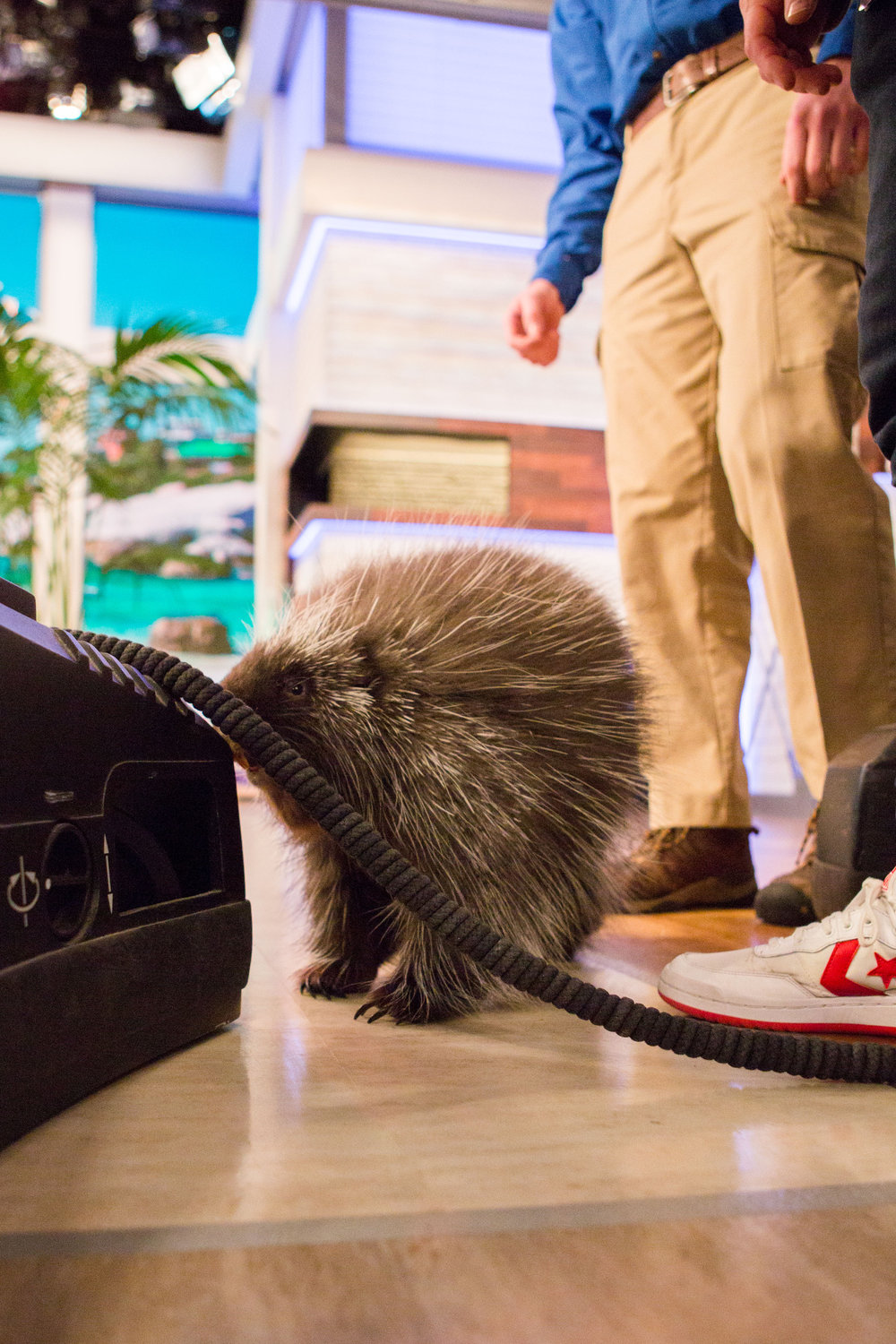 Quilliam the North American Porcupine checking out a camera on set.  Photo Credit: Nathan Congleton,  Today Show  Photographer.