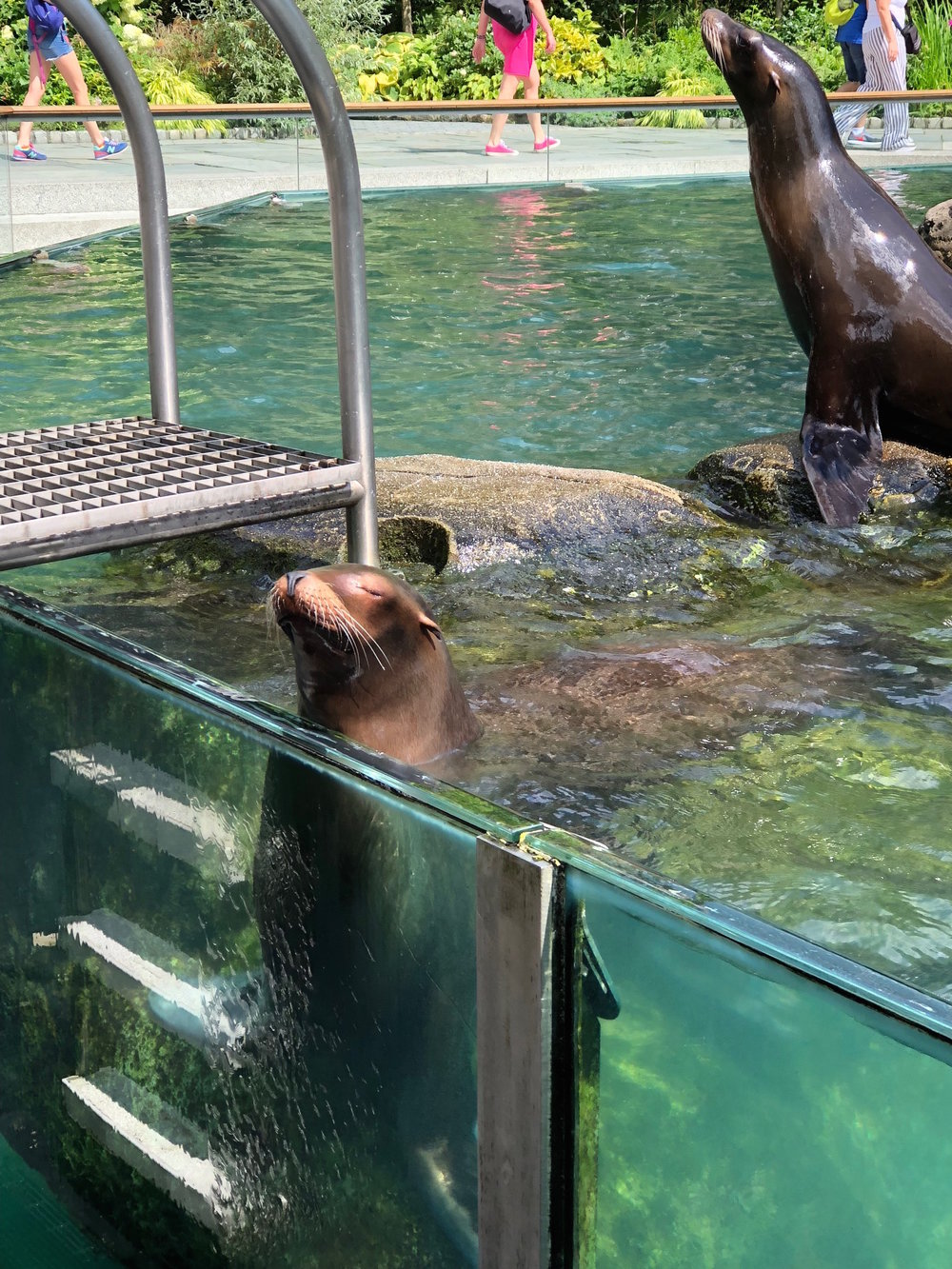 Two female California Sea Lions at the Central Park Zoo.