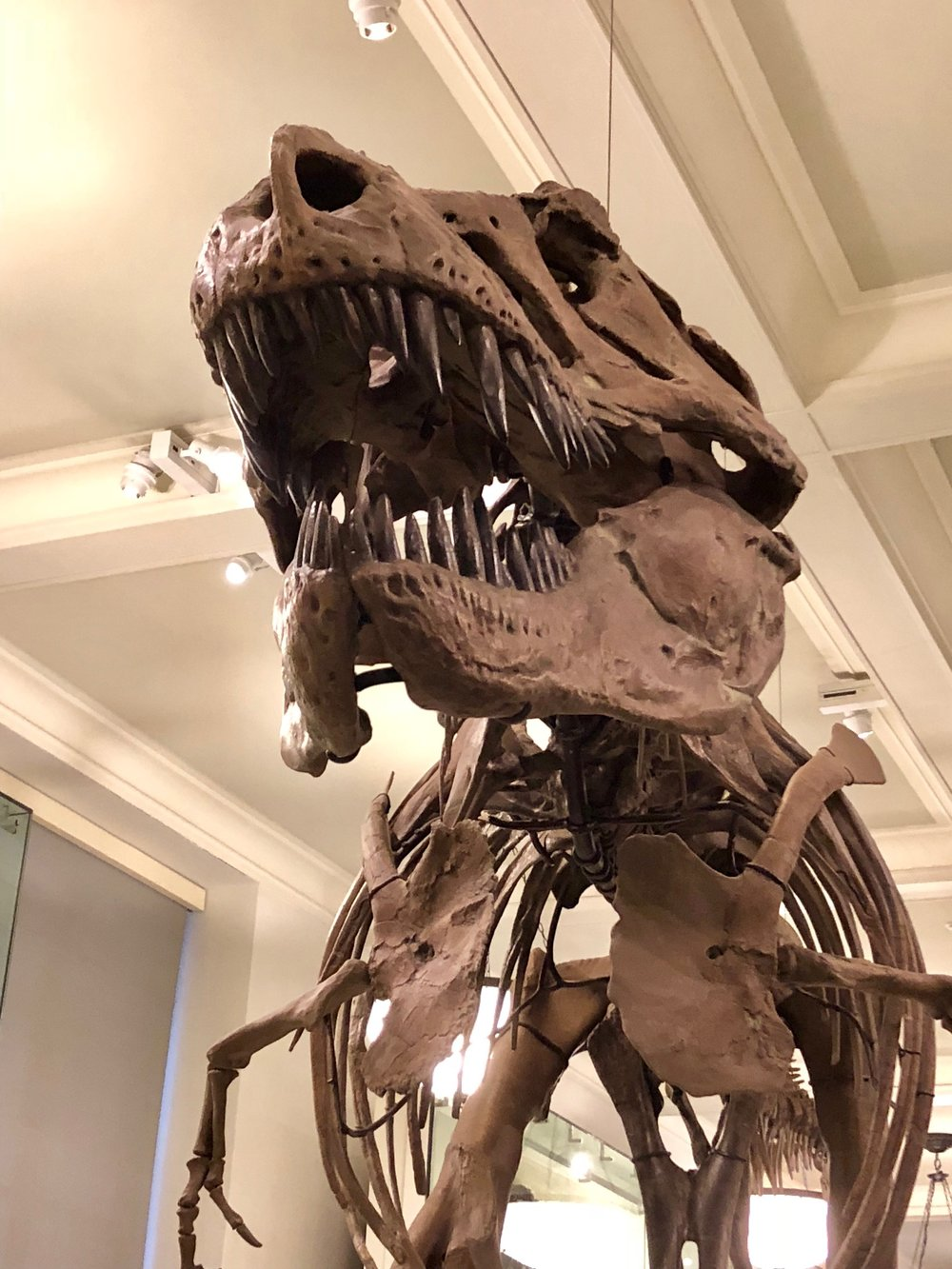 The most famous resident at the Museum of Natural history, the Tyrannosaurus Rex.