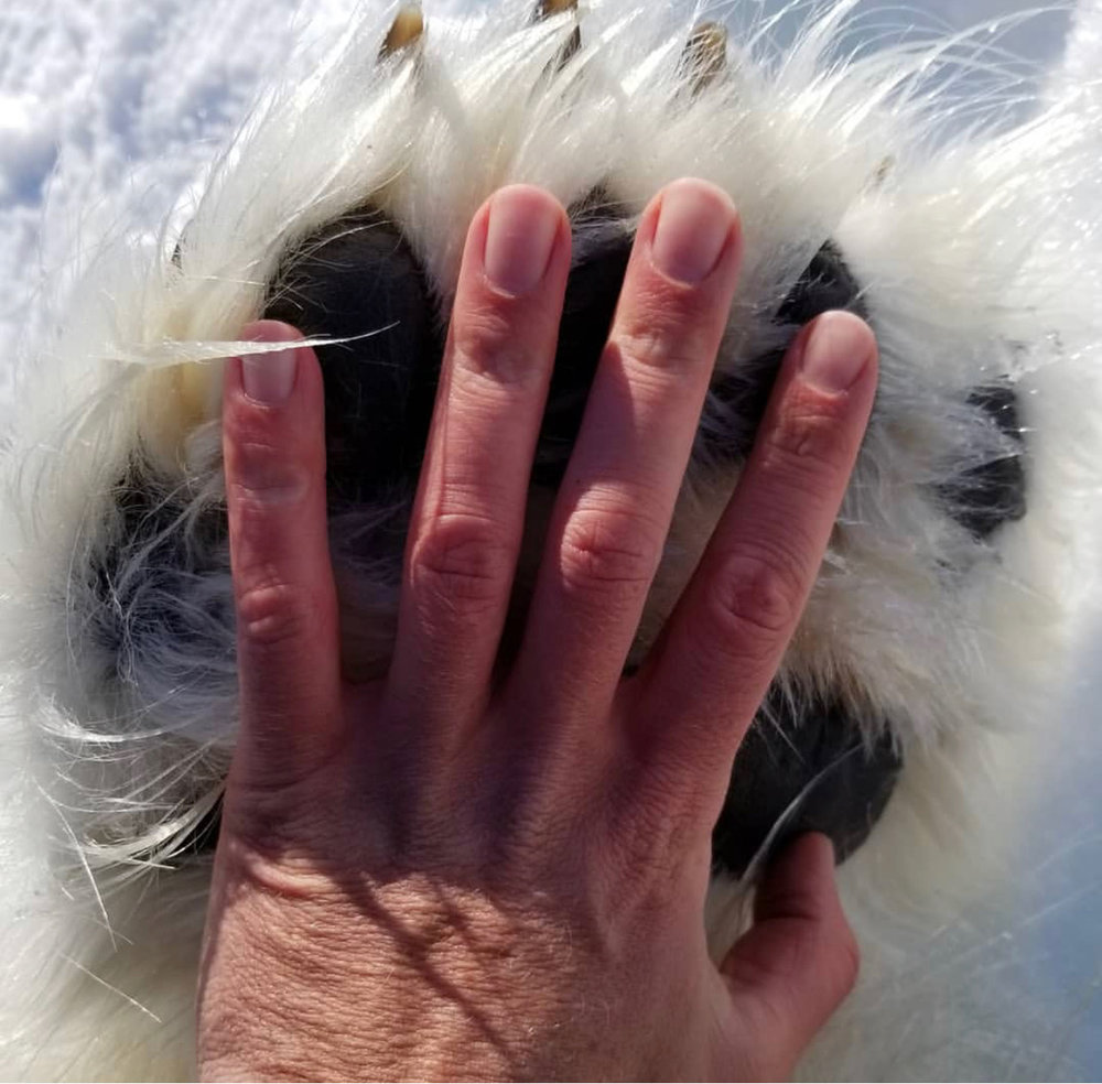 Polar Bear Paw.jpg