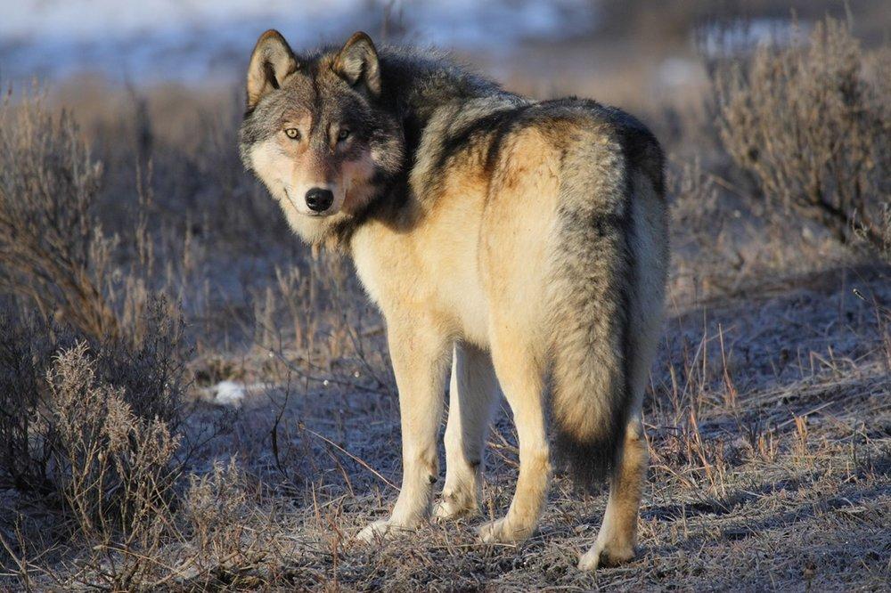 wolf .JPG