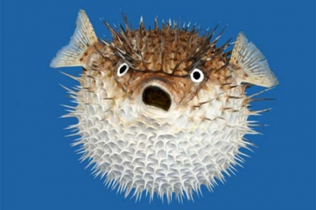 blowfish