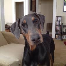 Blue Doberman (from Google)