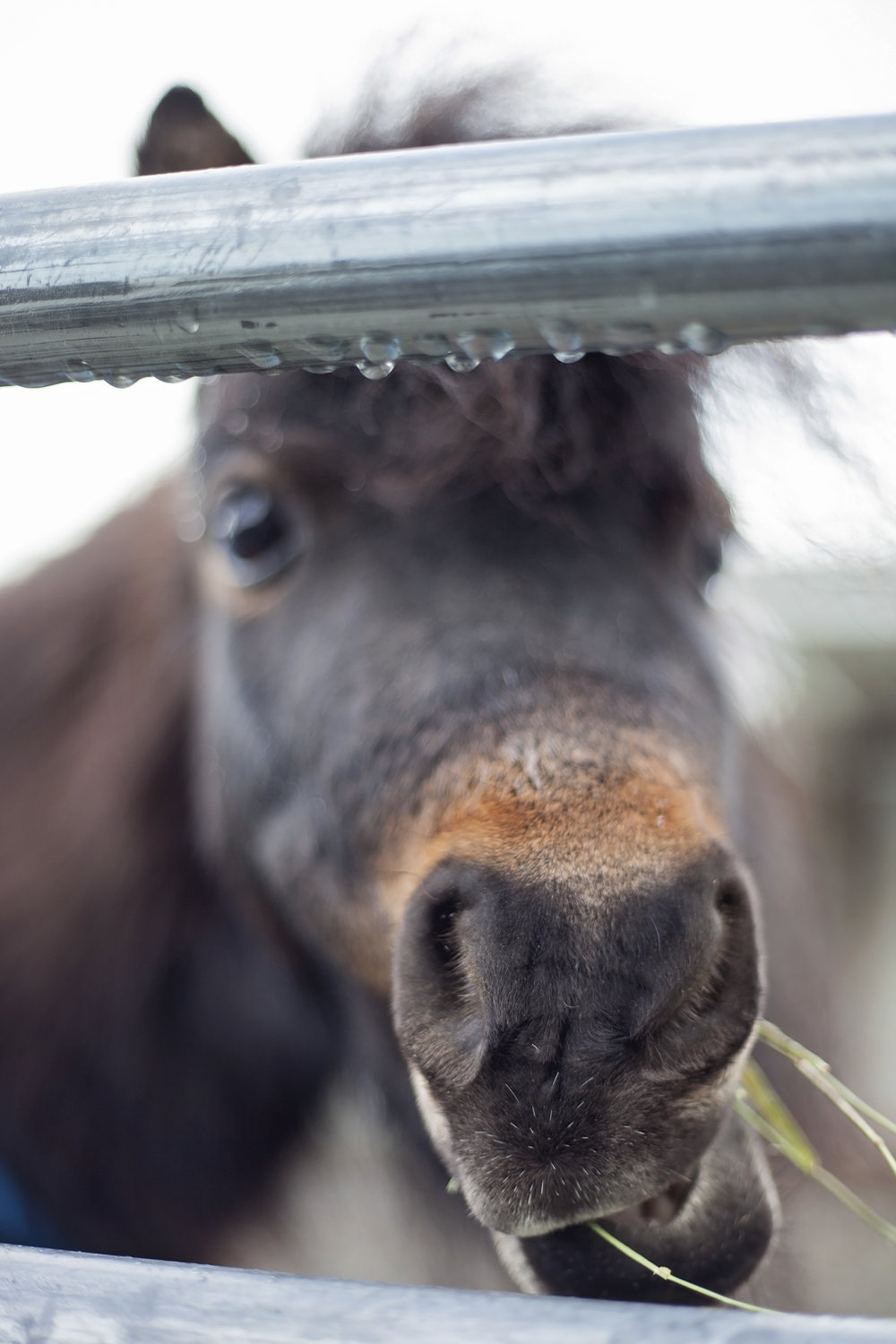 close-up of brown mini horse eating hay behind fence covered in raindrops