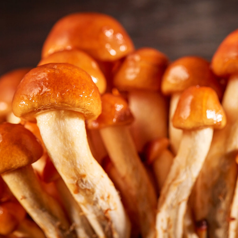 Forest Nameko - Features a glossy, amber-colored cap. The gloss is a natural protein gel that forms a glaze when roasted or grilled and adds body to soups and sauces.
