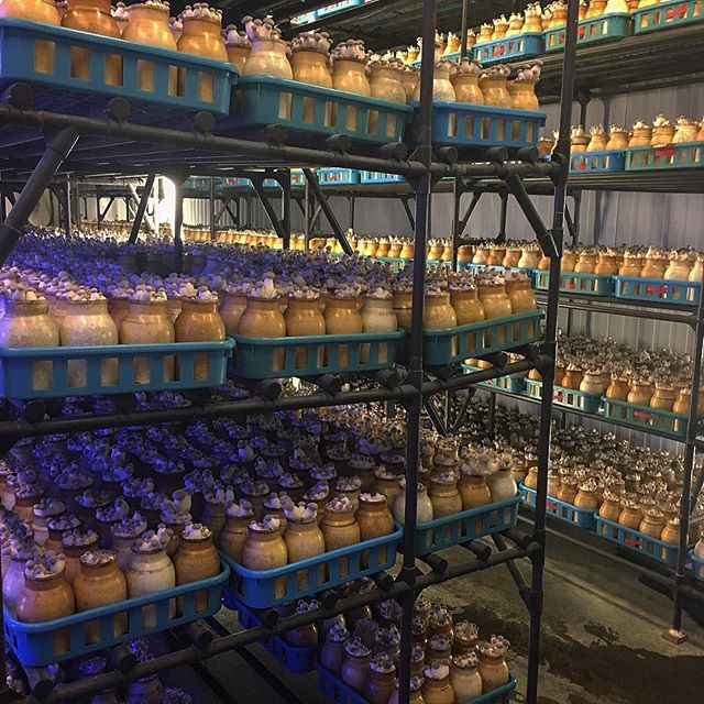 Apartment living 🍄🏢 One of our harvesting rooms for trumpet royale mushrooms 🍄 #mycopiamushrooms #mycopia #urbanagriculture #organic #urbanfarming #verticalfarming #mushrooms #vegetarian #vegan #foodie #superfoods #instafood #trumpetmushrooms #kingtrumpet #trumpetroyale