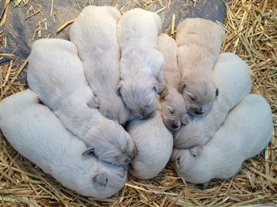 Pinkerton's Birth Litter of 9 Puppies
