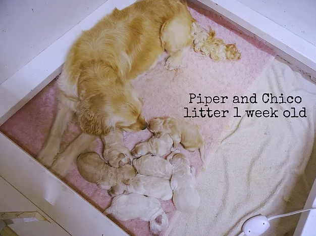 1_Piper Chico Litter_1 week old.png