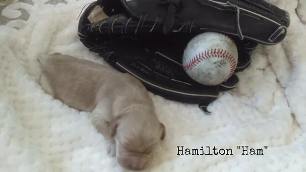 3_Hamilton Ham.png