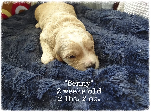 This is Benny, he is a buff male with a white blaze on his forehead. He looks like he has a wavy coat.