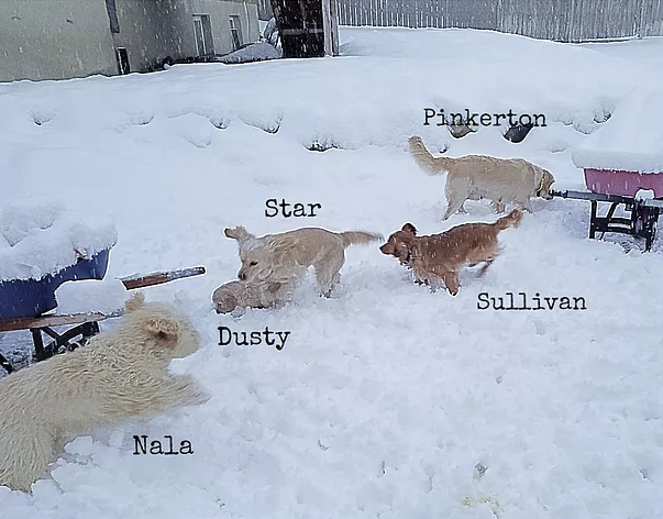 As the puppies turned 6-weeks-old we have been getting a lot of SNOW here in Utah! Our dogs have really been enjoying the snow and we're completely entertained watching them wrestle and play in the winter wonderland!