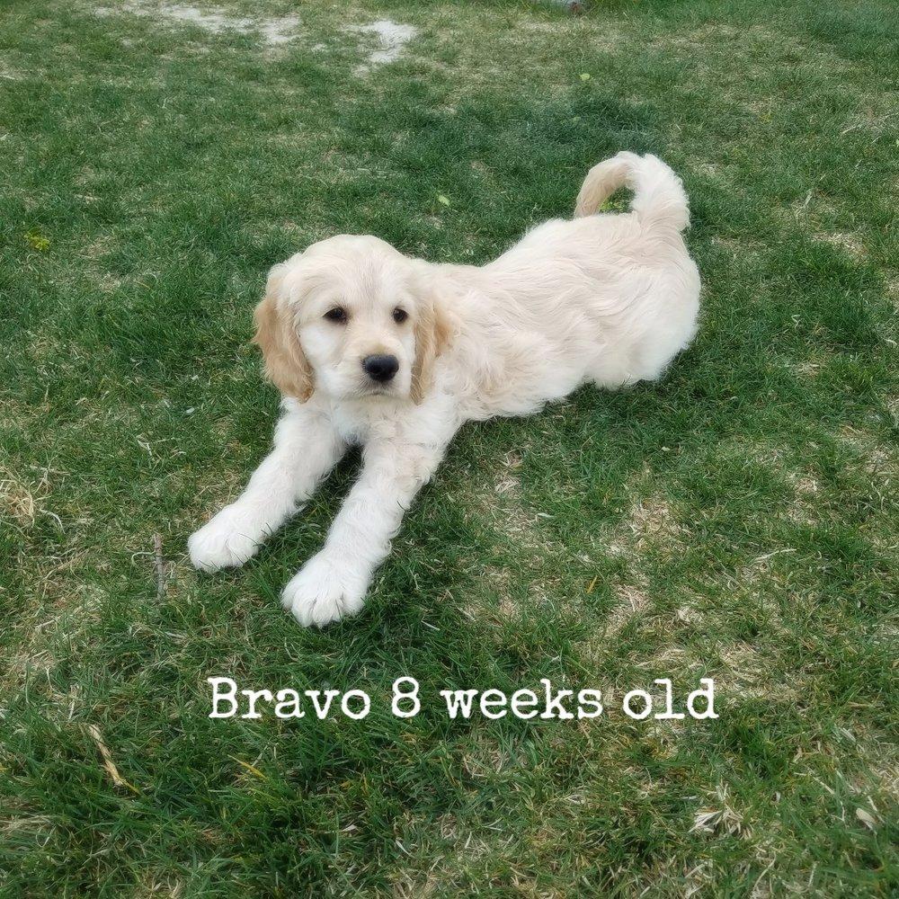 Bravo 8 weeks old.jpg