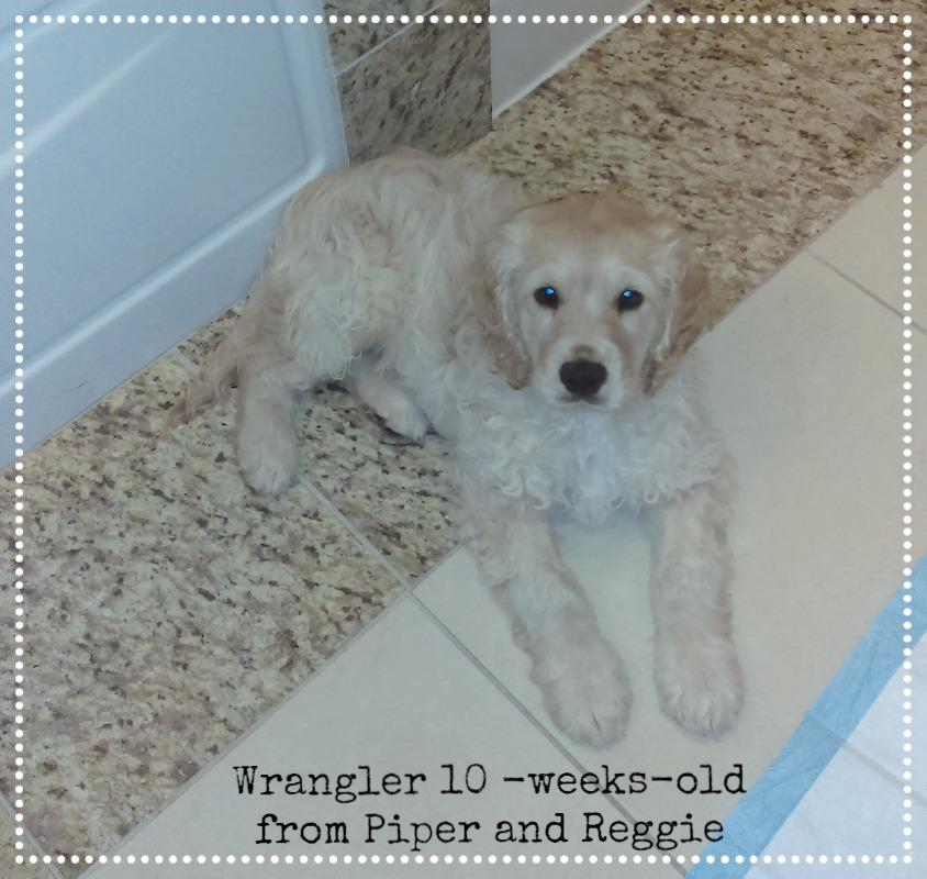 Wrangler 10 weeks old.jpg