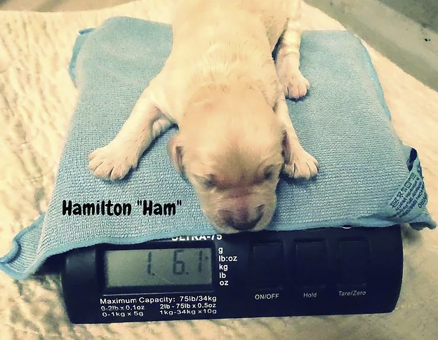 Hamilton_Ham_on Scale_1 week old.png