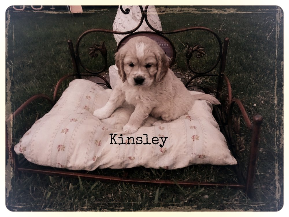 6-weeks-old Kinsley before she left Taylormade kennel. Photo by Michele.