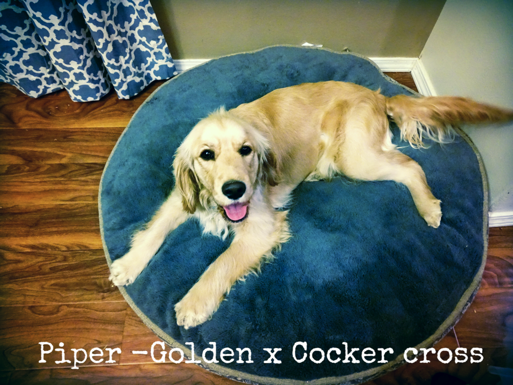 Piper-Golden x Cocker Cross.png