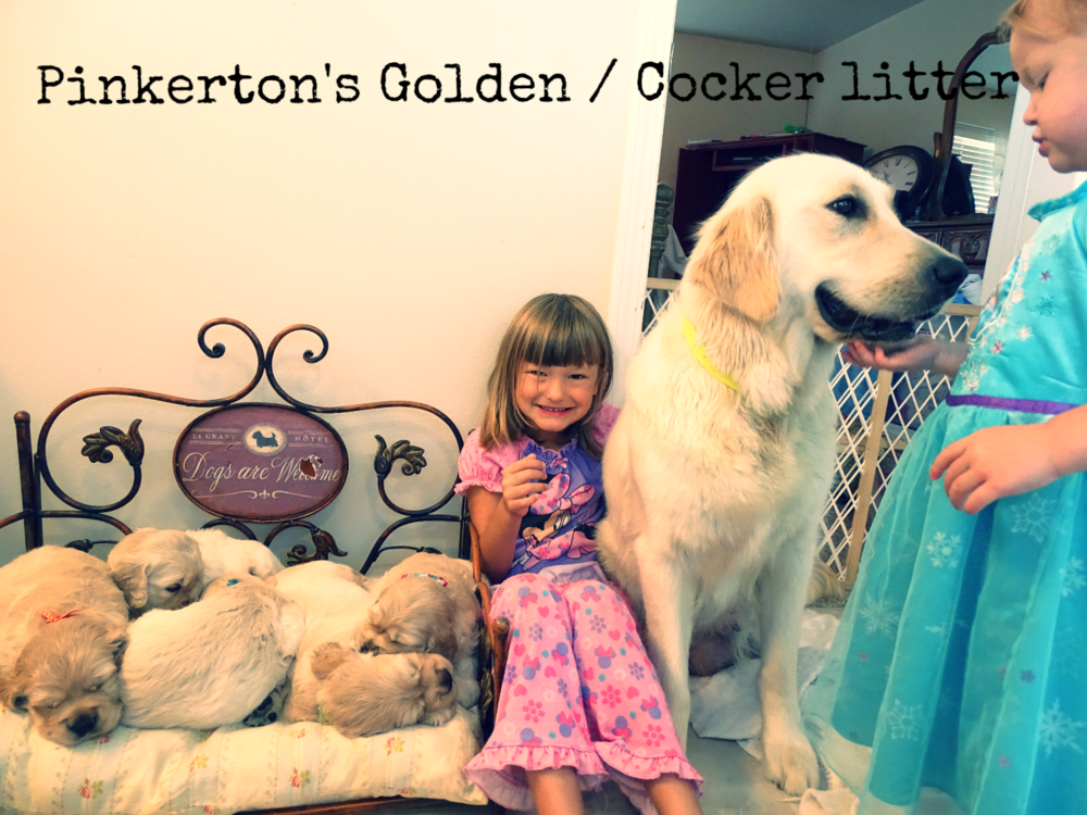 Pinkertons golden cocker litter.png