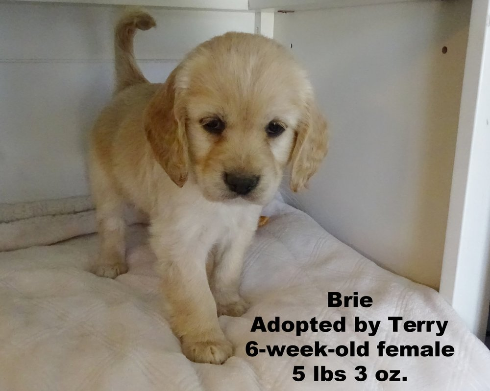 Brie looks like her mama Star. We are going to be taking her up to Boise, Idaho to meet her family from Seattle, Washington. We love going to our old home town to vacation and see my sister! -