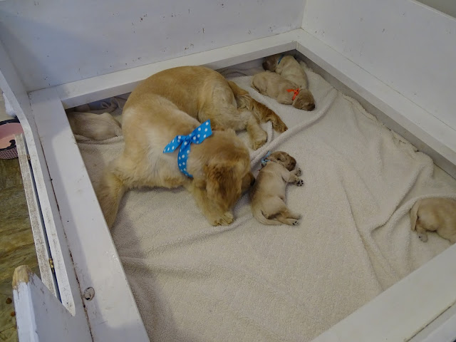 Piper visits the new puppies of My Little Pony Litter!