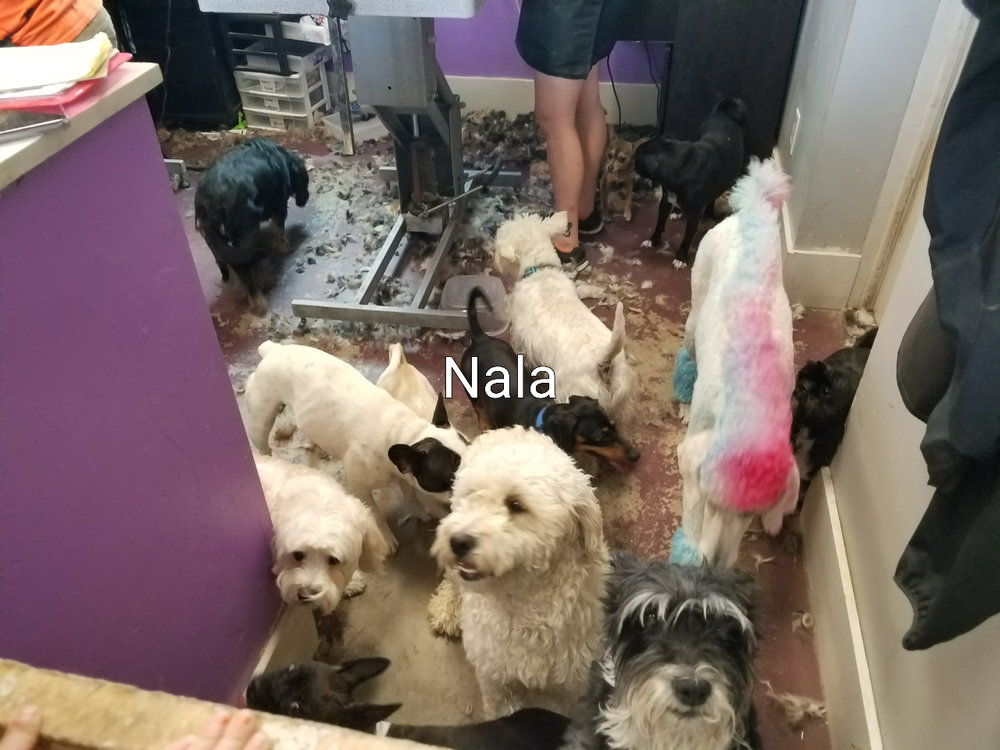 Here is Nala at La Petite Dog grooming as she is getting ready for her new hairstyle! -