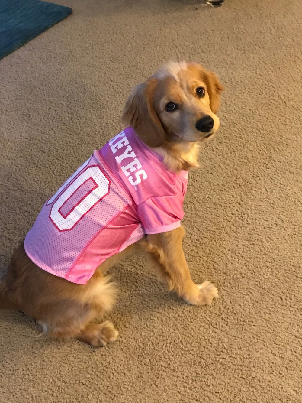 Izzie, 30lbs getting ready for the Buckeye game