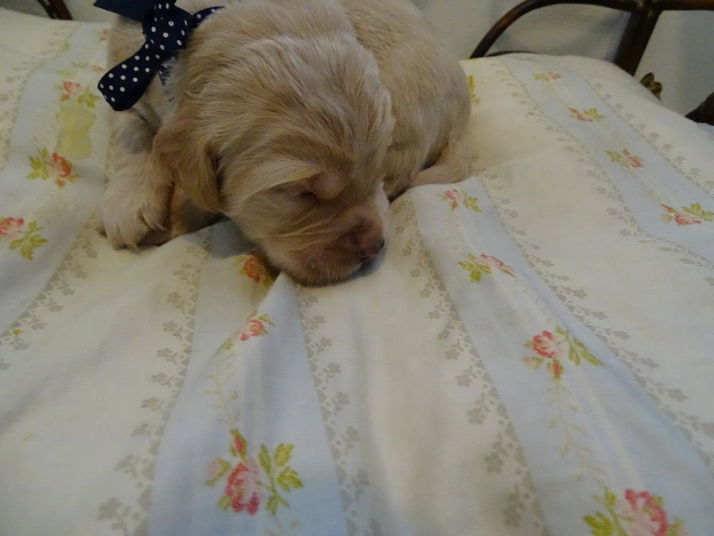This is Colonel Brandon he is a solid light gold male, he currently weighs 2 lbs. 12 oz.