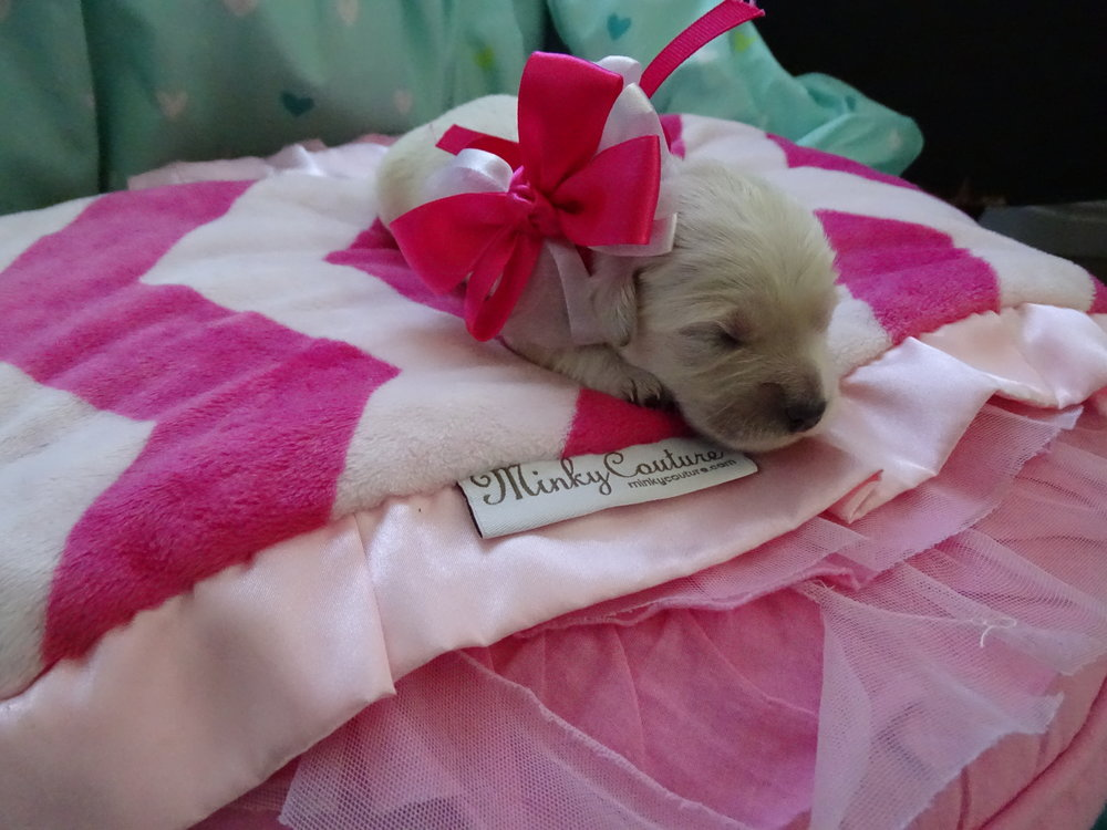 Meet Nancy! - Nancy is an all white colored female puppy. She was born at around 3:00 AM and weighed 10.7 oz.