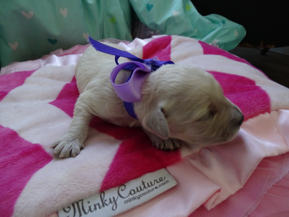 Meet Frenchy! - Frenchy is an all white colored female puppy. She was born at around 4:00 AM and weighed 9.4 oz.