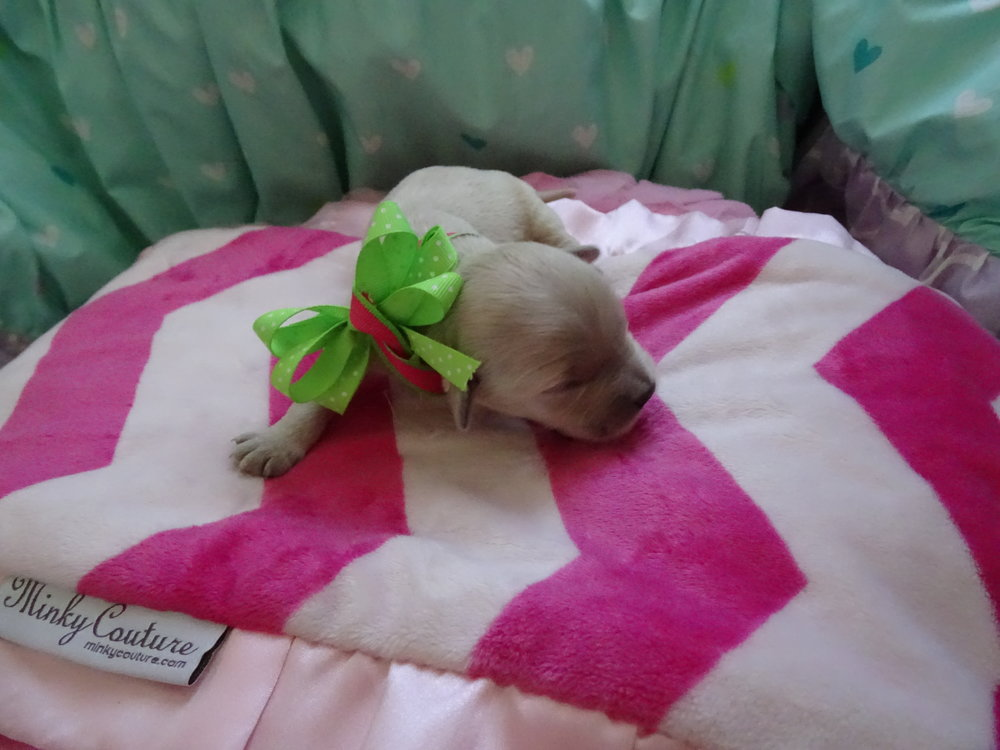 Meet Jewel! - Jewel is an all white colored female puppy. She was born at around 5:00 AM and weighed 9.7 oz.