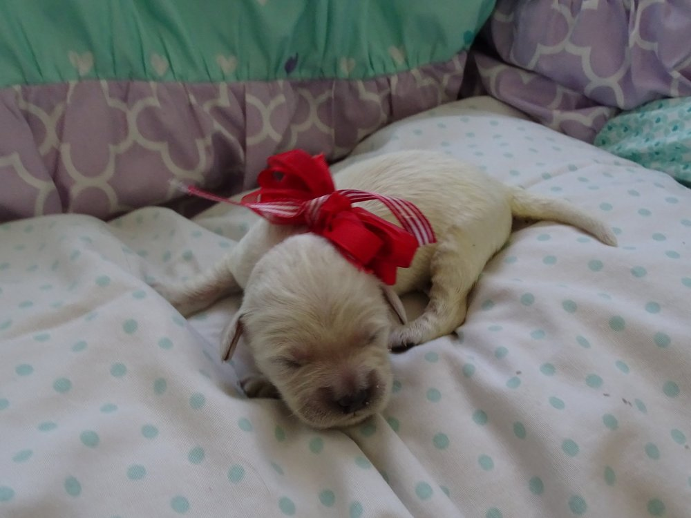 Meet Jojo! - Jojo is an all white colored male puppy. He was born at around 6:00 AM and weighed 10.5 oz.