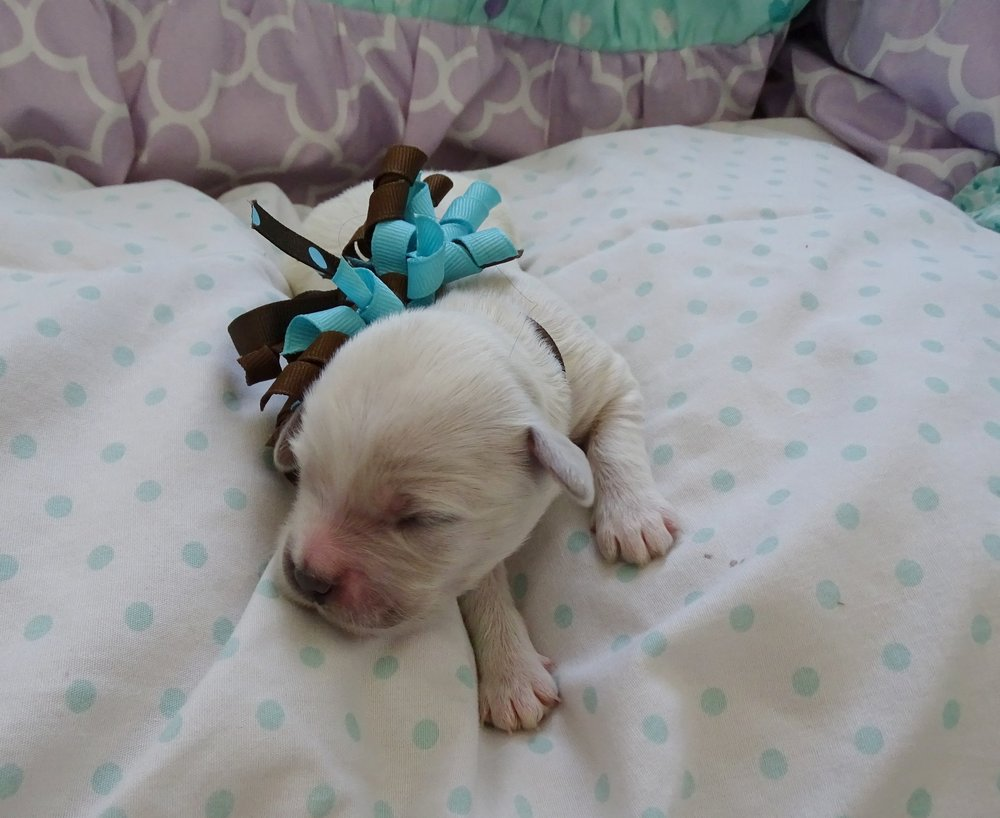 Meet Scamp! - Scamp is an all white colored male puppy. He was born at around 7:00 AM and weighed 11.4 oz.