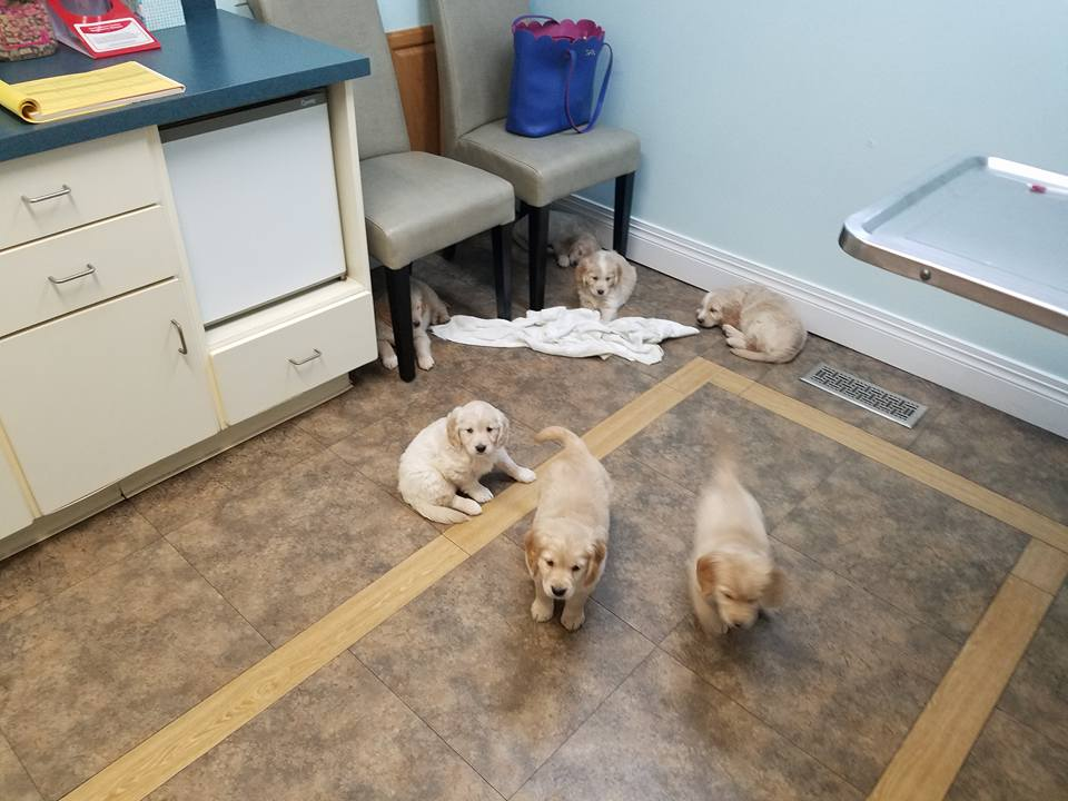 Puppy well vet visit at 7 weeks old