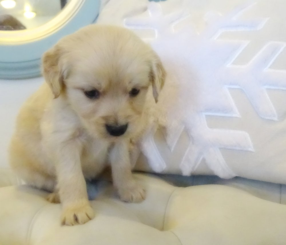 This is Robert, a 5-week-old cream male with a straight Golden Retriever coat. He weighs 2 lbs 15 oz. he is charting 16 lbs. full grown. He got an even 3/4 on his Volhard aptitude test, wonderful score!