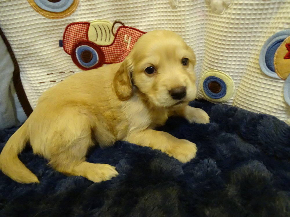 Mercedes is a solid light gold female. She weighs 3 lbs 10 oz and is charting 22 lbs full grown. Her Volhard score is 3/4 and good body structure.