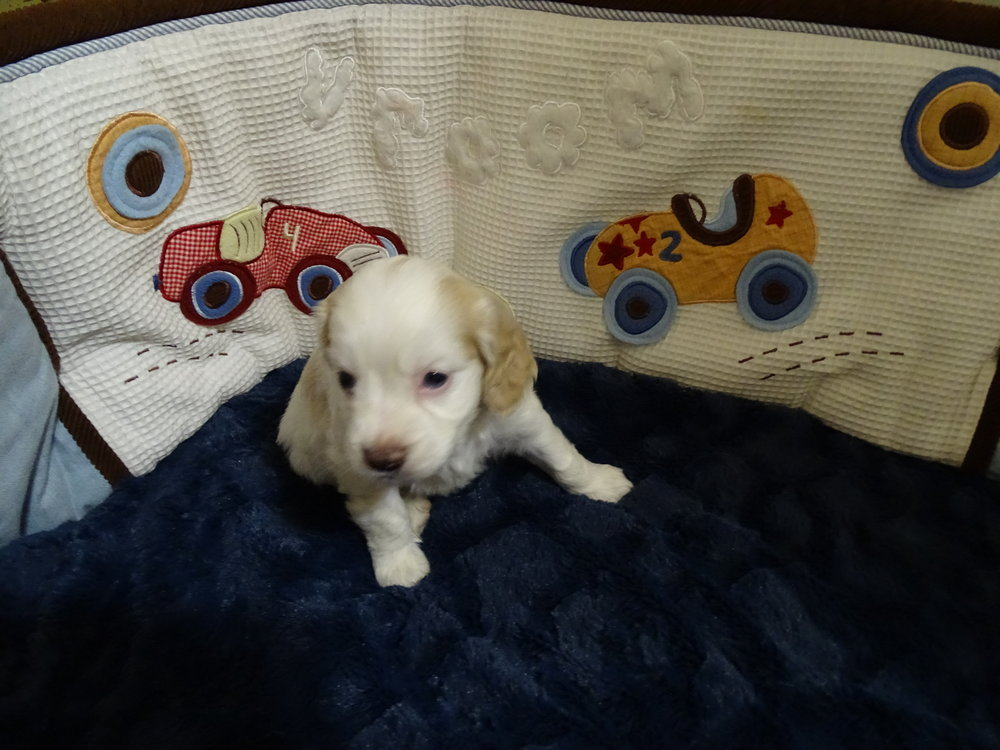 Lexus is a female who is white with gold markings. She weighs 2 lbs 10 oz and is charting 15.4 lbs full grown ( I think she will be over the 20 lb mark) Her Volhard score is mostly 3's with a good body structure.