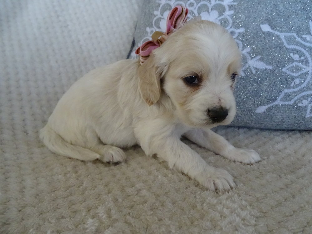 This is now Piper (was Snowbell) she is a cream colored female. She weighs 3 lbs 14 oz. and is charting 20 lbs full grown. She scored mostly 4's on her Volhard and good body structure.