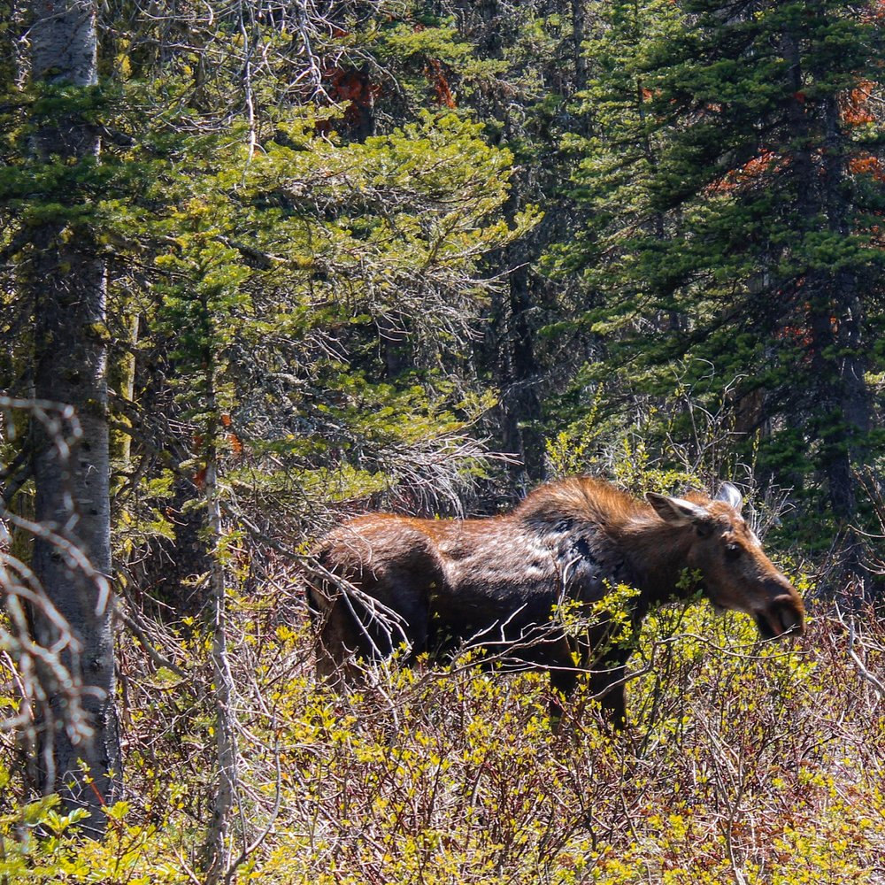 A female moose grazes in the wetlands on the shores of Two Medicine Lake