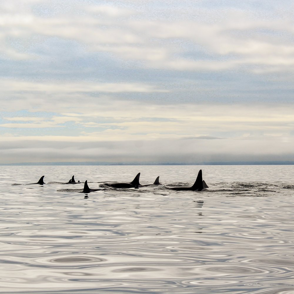 Whale Watching Tour | Eagle Whale Tours | Orcas | Victoria, Vancouver Island