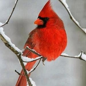 cardinal-snow.jpg