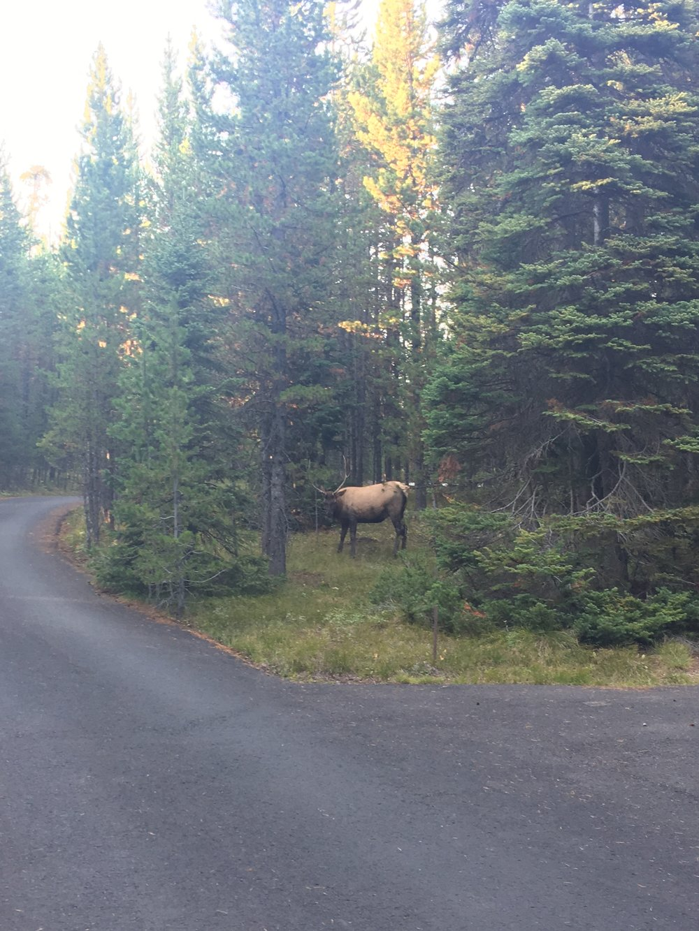 Resident Elk that visited our campsite! We stayed at Bridge Bay Campground and stayed at Jenny Lake during our last visit.